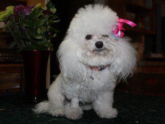 Problems with tiny dogs and how to prevent them.....