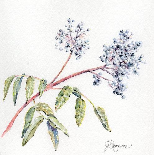 """Elderberry, 8x8"""""""