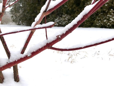 Snow covered branches...