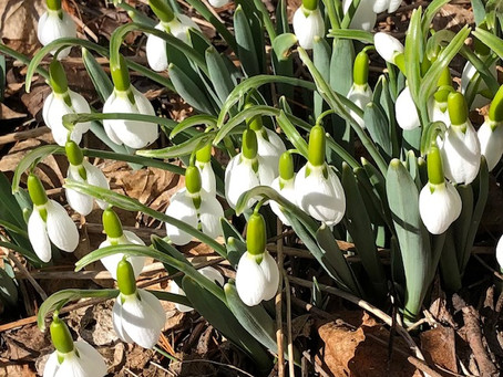 The Snowdrops are up!