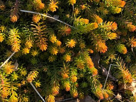 Sedum ... colorful even in winter.