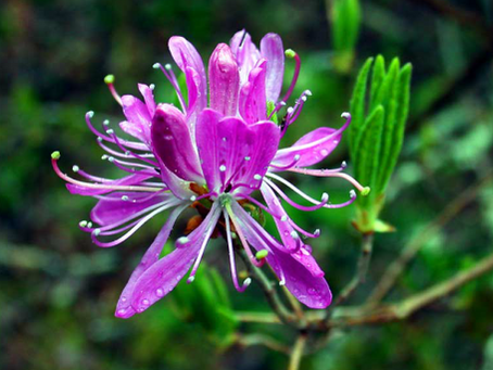The Rhodora by Ralph Waldo Emerson
