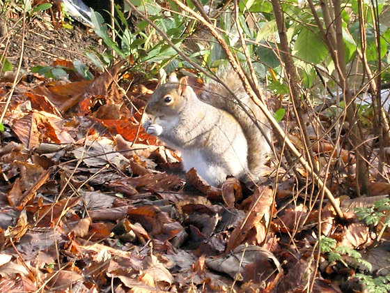 Squirrel in Cannon Hill Park Postcard