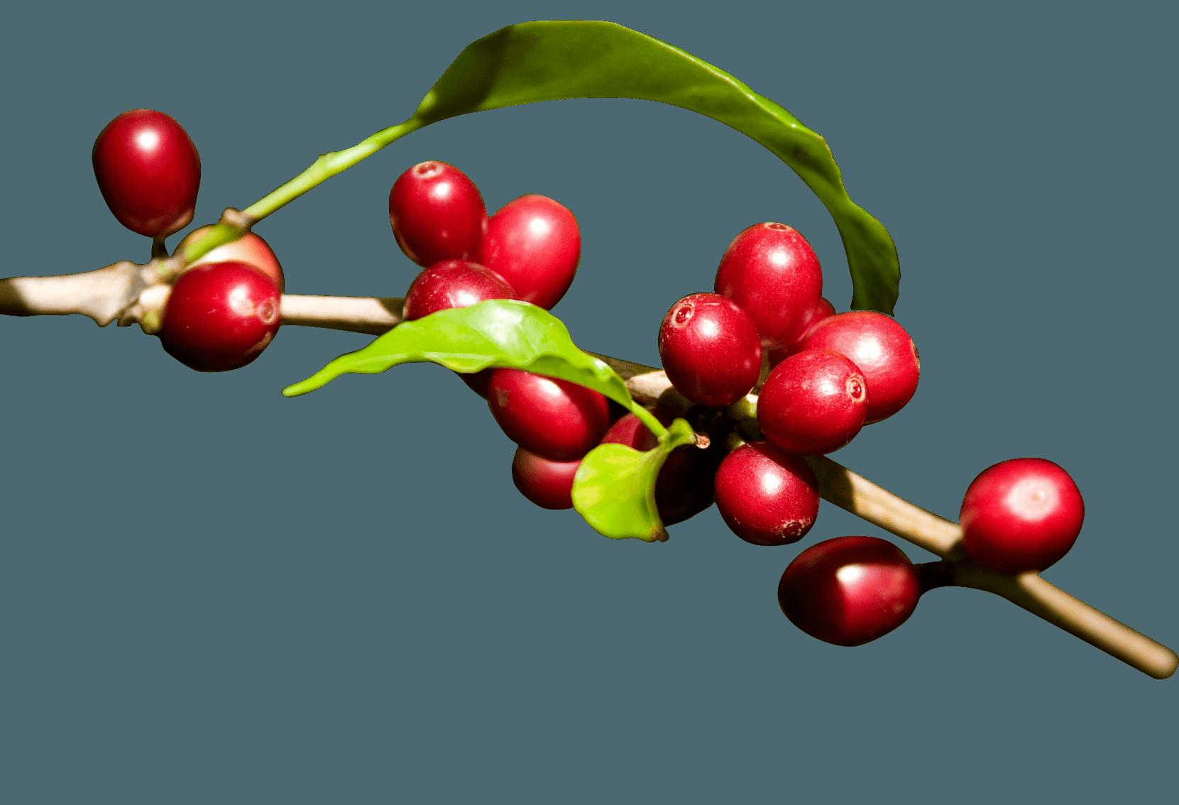 커피 체리 PNG