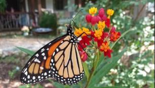 Gateway Trail Butterfly Garden -- a rest stop for monarchs