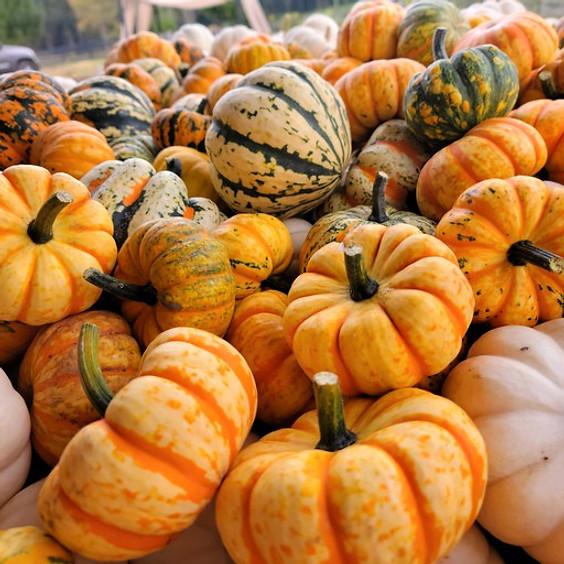 Pumpkin Patch at Dallas Lavender Lane