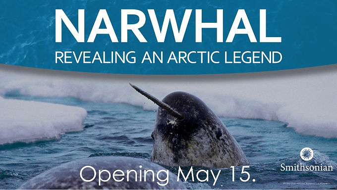 NARWHAL REVEALING AN ARCTIC LEGEND