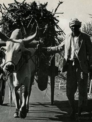 Ox cart with sugar cane