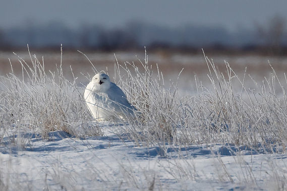 Snowy Owl in Field at BVG 1S7A6338.jpg