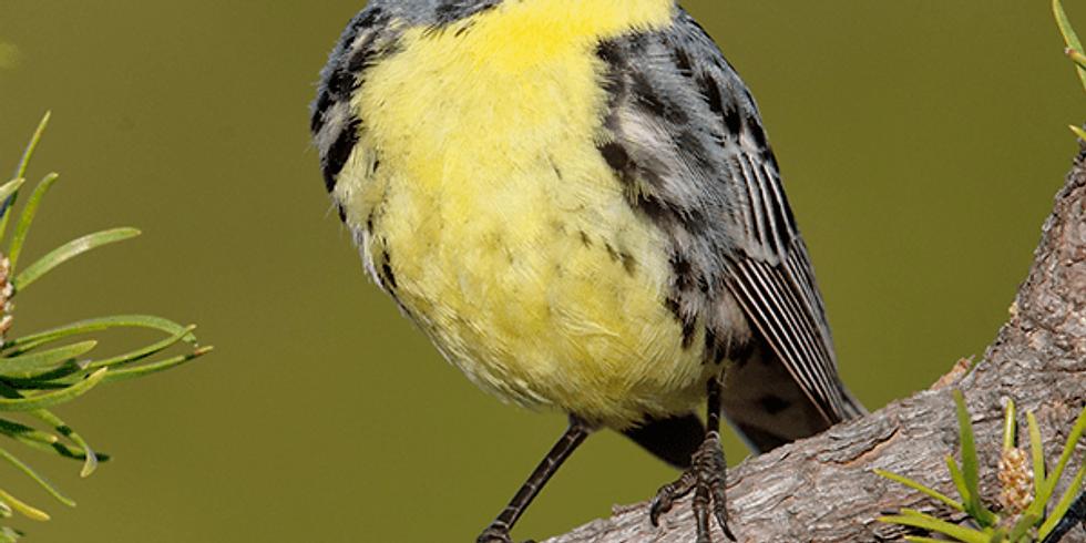Kirtland's Warbler Flies Off Federal Endangered Species List