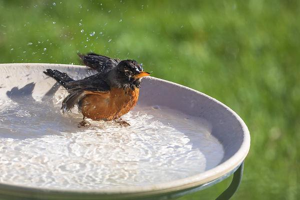 Wet Robin 1S7A8298.jpg