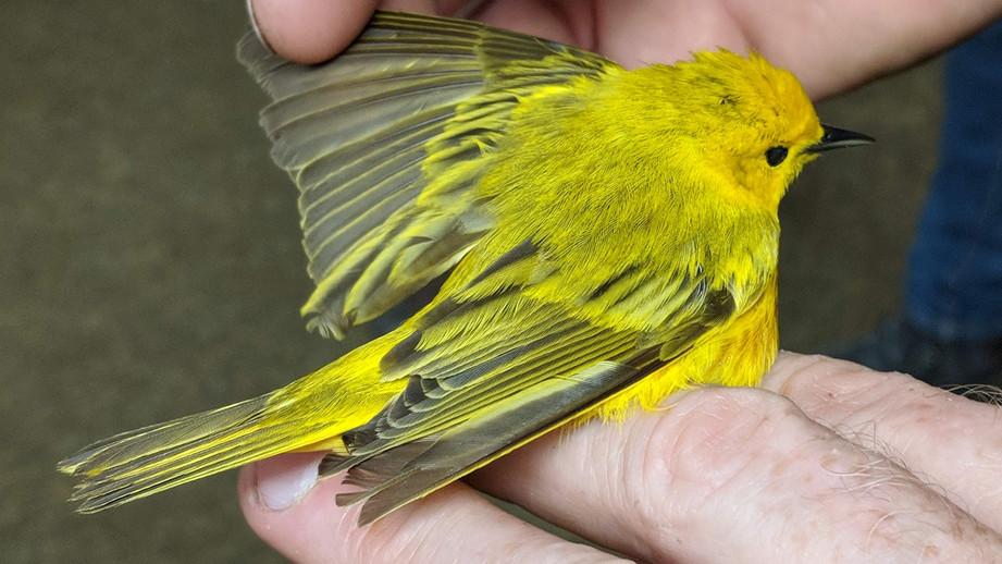 YellowWarbler-Leek.jpg
