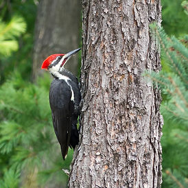Pilleated Woodpecker P1010663.jpg