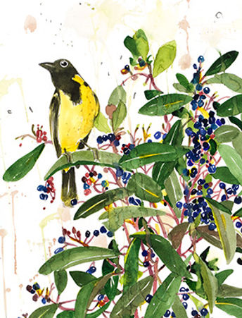 The first in our series features the New Holland Honey Eater and the Tasmanian Pepper Berry that grows in the Macedon Ranges.