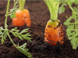 CARROTS: THEY AREN'T ONLY GOOD FOR YOUR EYESIGHT! FIND OUT WHAT GOODNESS THESE LITTLE GUYS OFFER + A