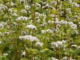 """BUCKWHEAT: THE """"NOT REALLY A WHEAT AT ALL"""" GRAIN THAT HAS AN INTERESTING RELATIONSHIP WITH"""