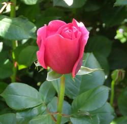 薔薇(バラ)