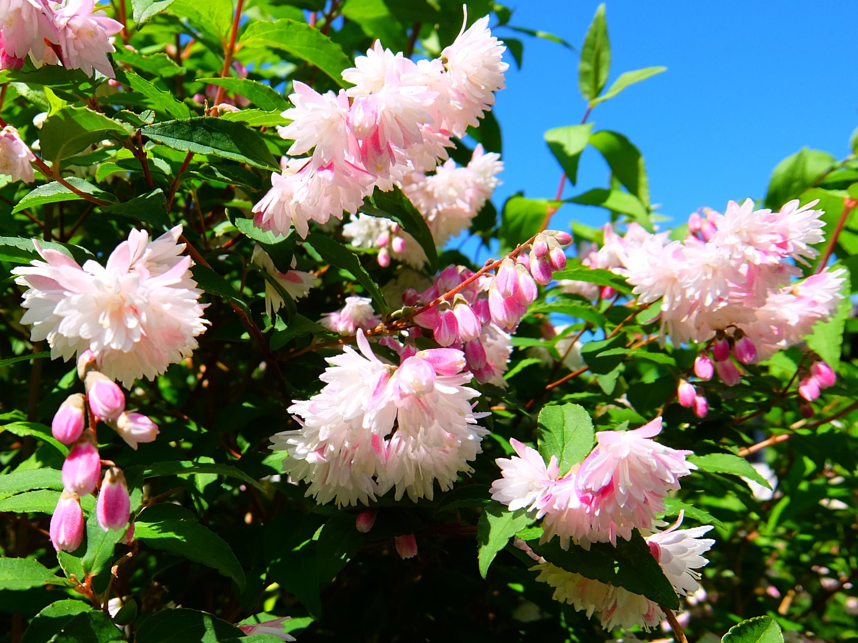 空木(ウツギ)卯の花(ウノハナ)
