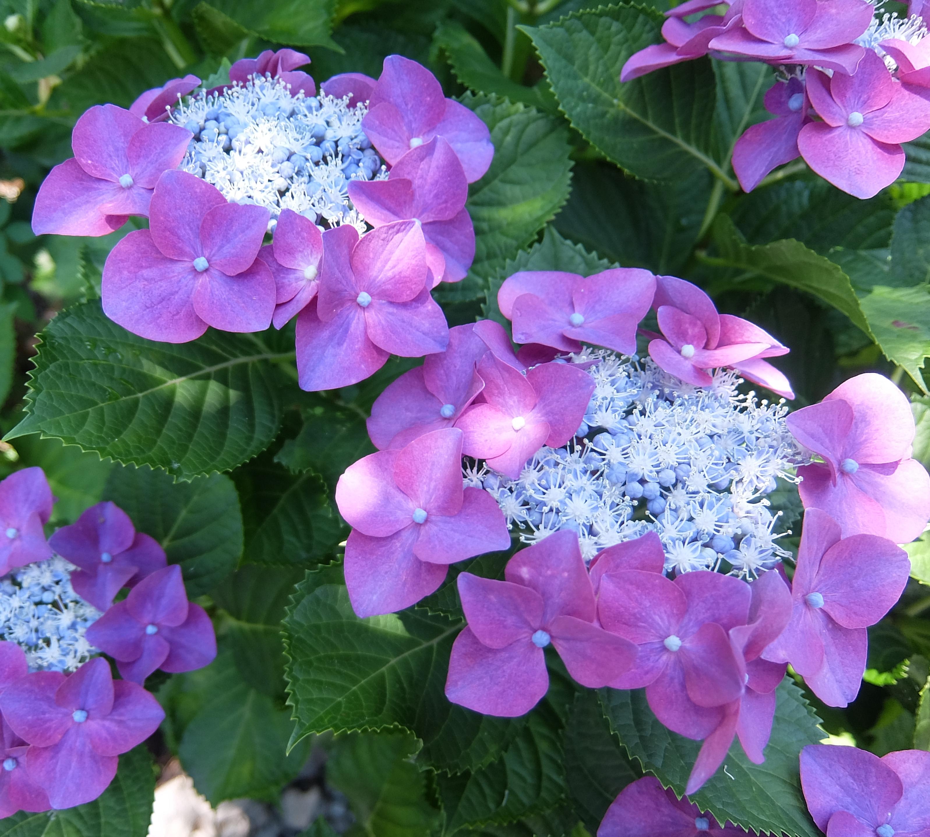 額紫陽花(ガクアジサイ)