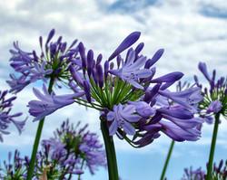 アガパンサス 紫君子蘭(ムラサキクンシラン)
