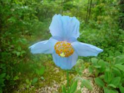 メコノシプス(ヒマラヤの青いケシ)