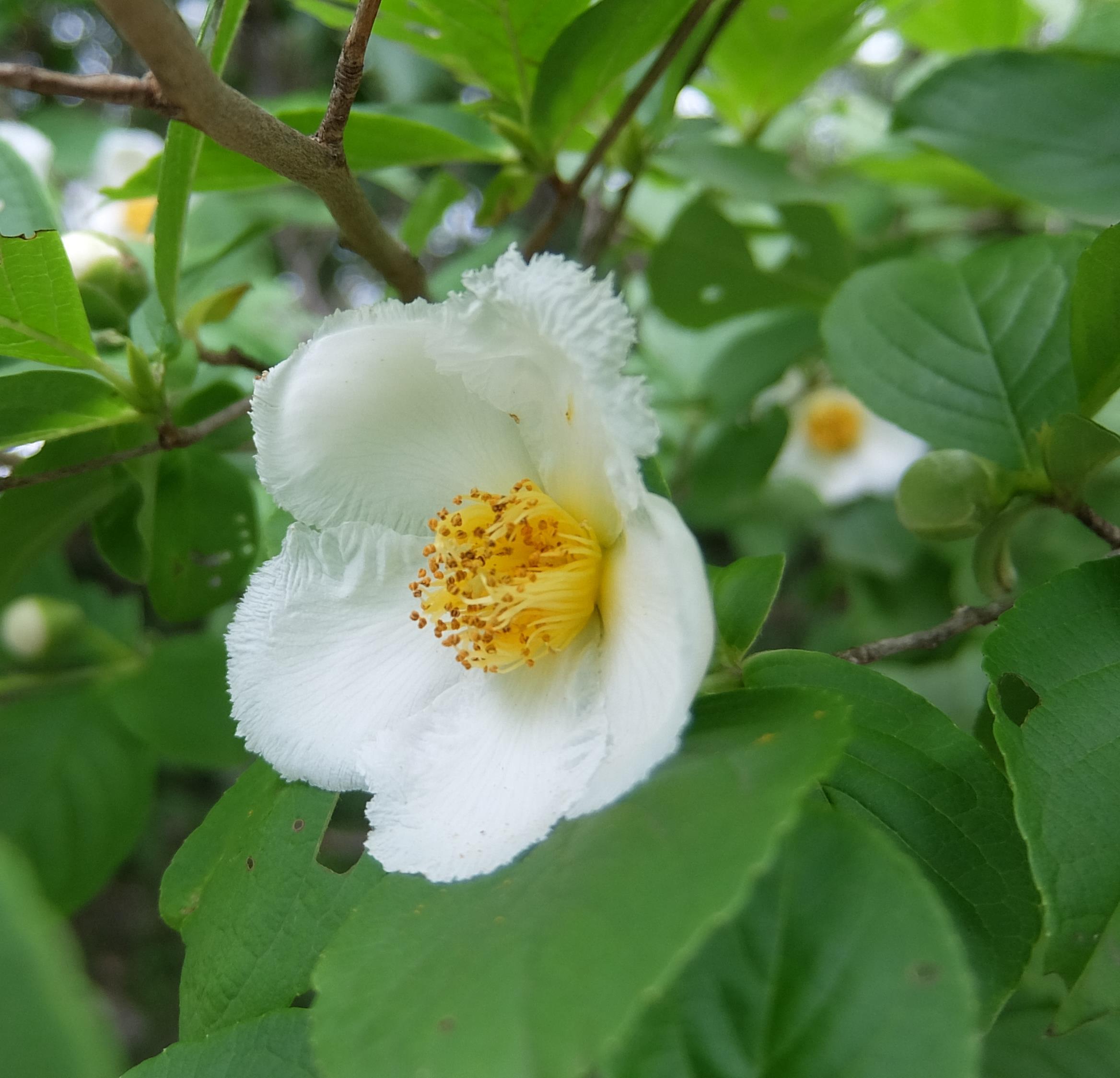 夏椿 沙羅の木(シャラノキ)