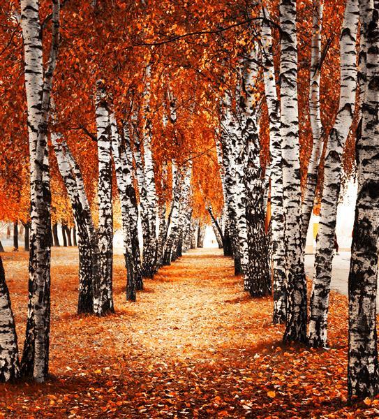 Floresta Natureza 554-Vidoeiro branco