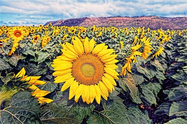 Floral_155-Campo_de_Girassol