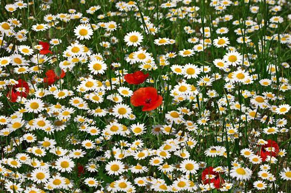 Floral 097-Papoula e margari