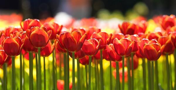 Floral 139-Tulipas vermelhas