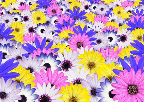 Floral_115-Crisântemos