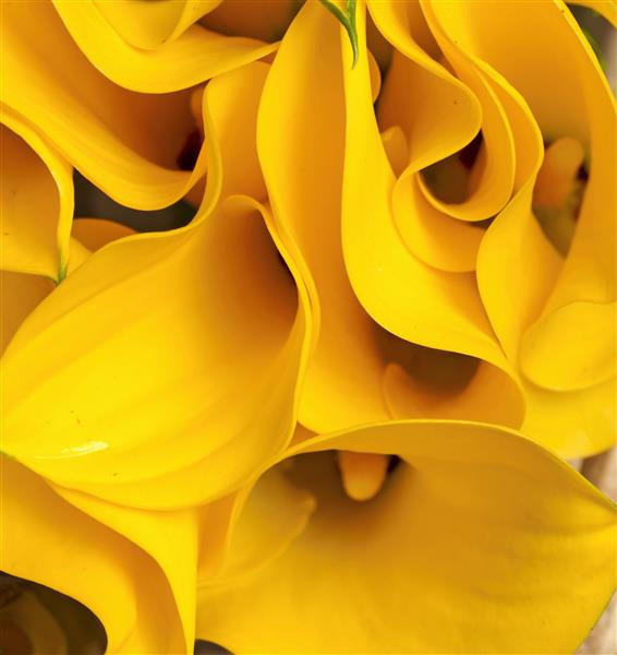 Floral 173-copo-de-leite amarelo