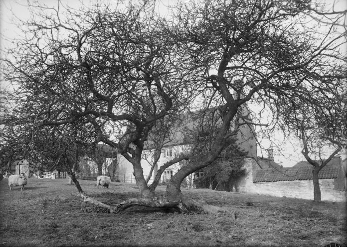 newton-apple-tree-696x496