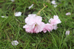 Blossom Falling