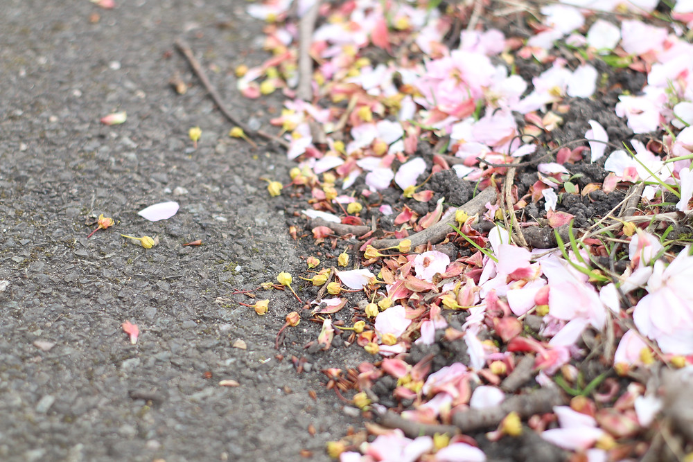 Fallen Blossom on tarmac edge