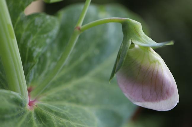 Beautiful Legumes