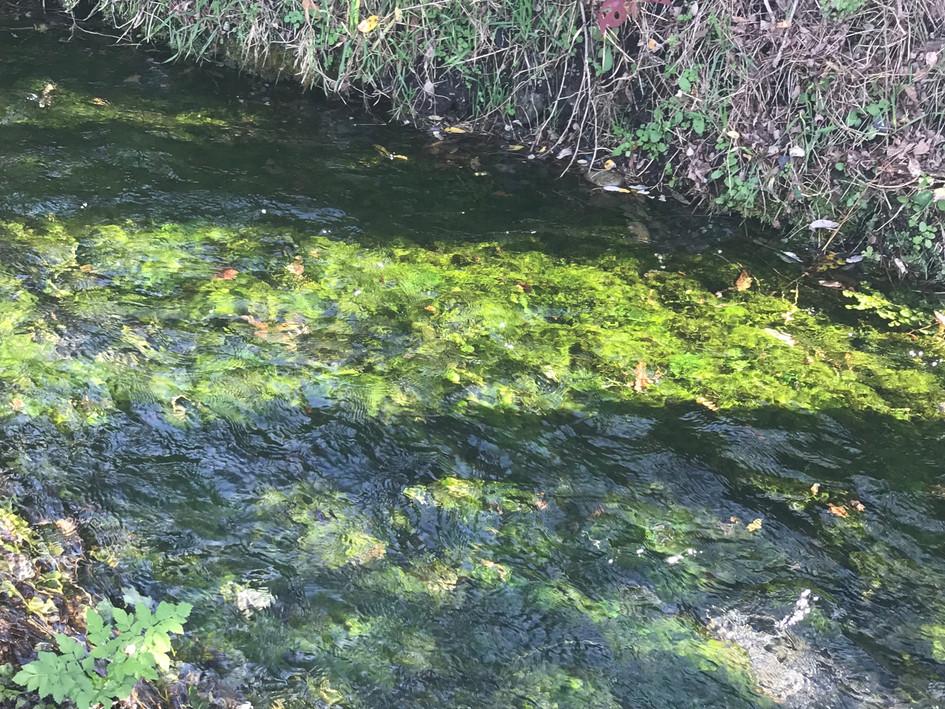 わさび田の横を流れる川。透明度ばっちりです。