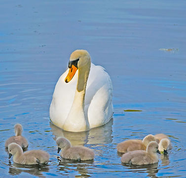 BW Swan 2-3472.jpg
