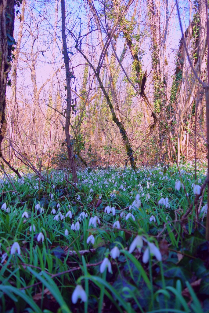 snowdrops in France