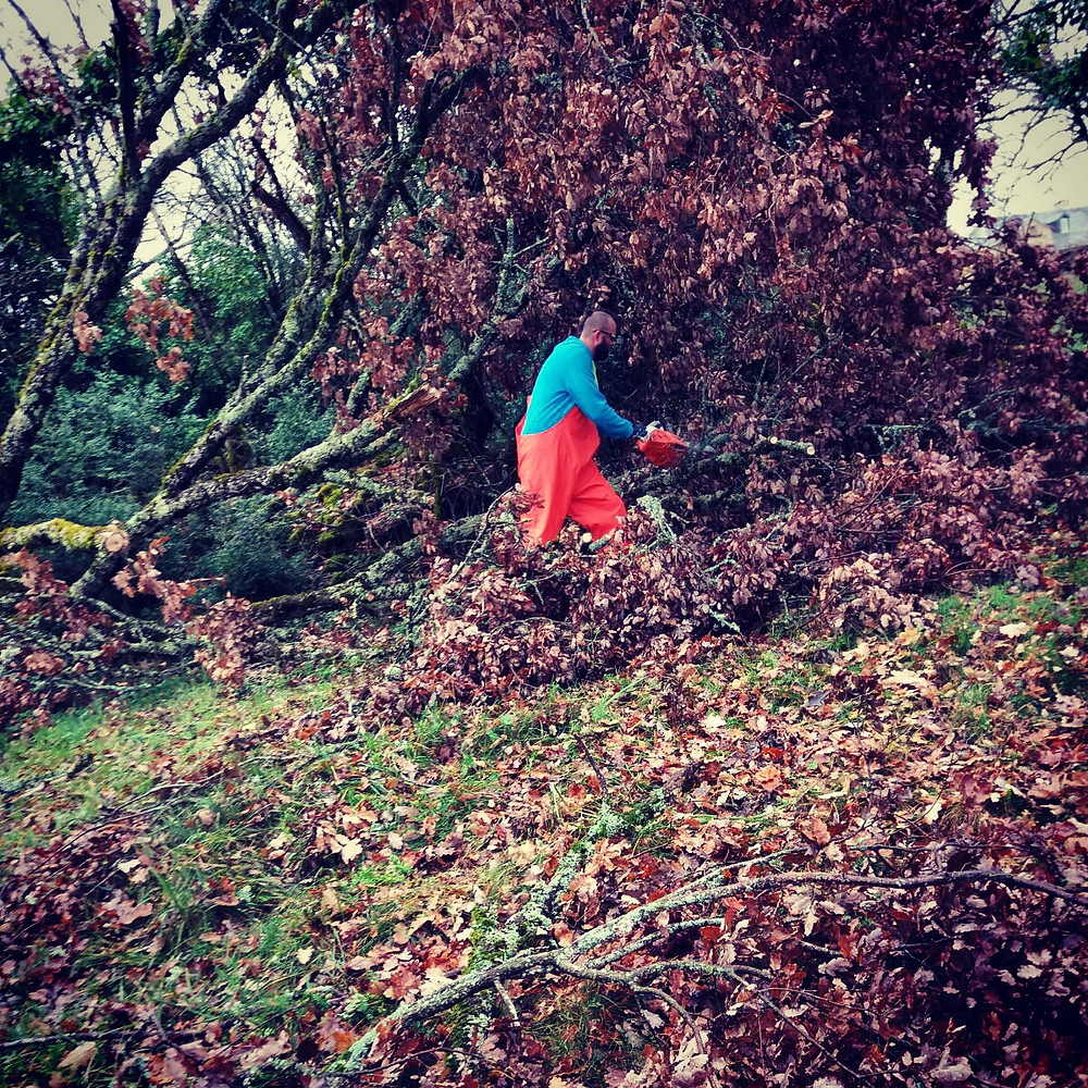 Tackling the fallen oak at As Plos Heights