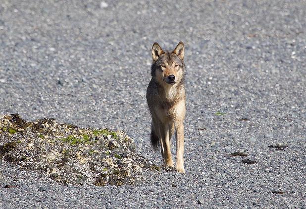 coastalwolf_t_ribeyre.jpeg