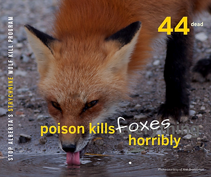 44 Foxes2.png