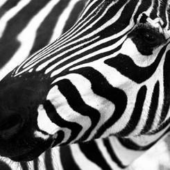 zebra24.jpg
