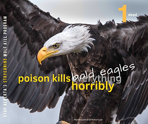 Bald Eagle-Jan 10.png