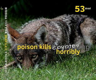 53 Coyotes.png