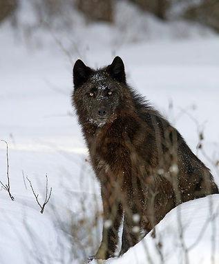Black-wolf-sitting-in-snow_Peter-Dettlin