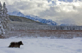 Black wolf walking through snow with backdrop of mountains