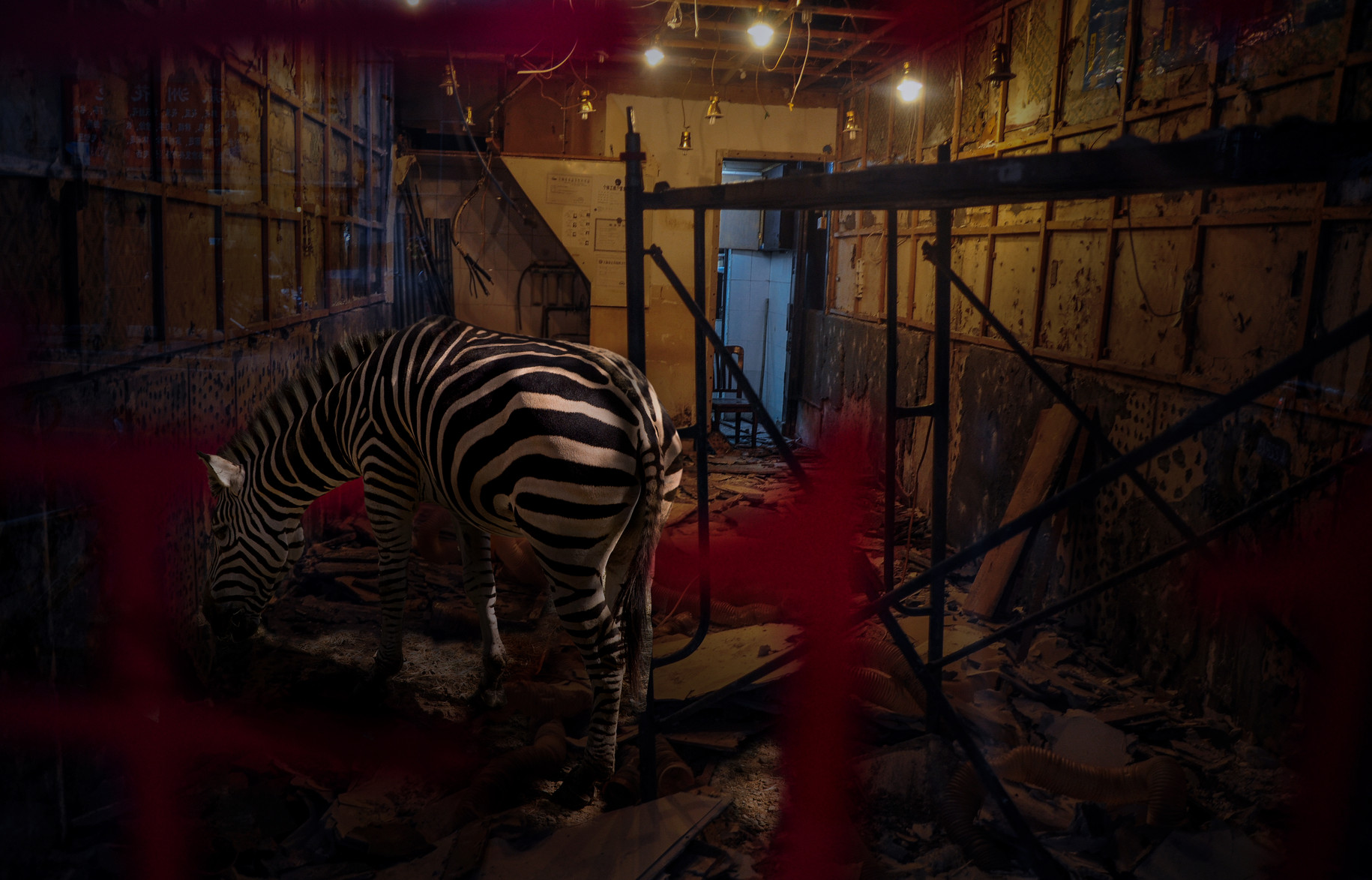 zebra / 2016