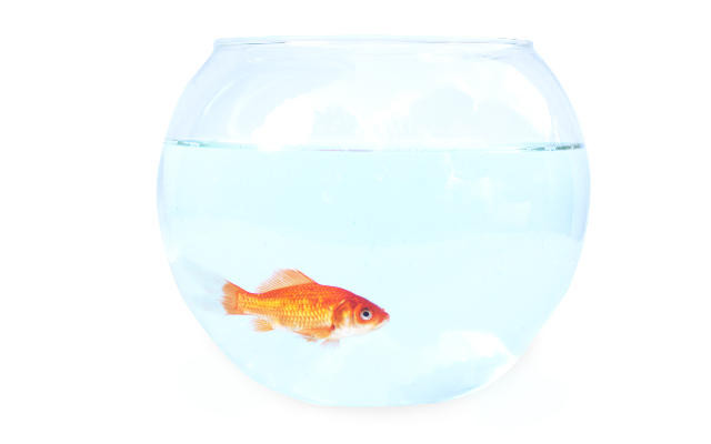 An attention span longer than a goldfish
