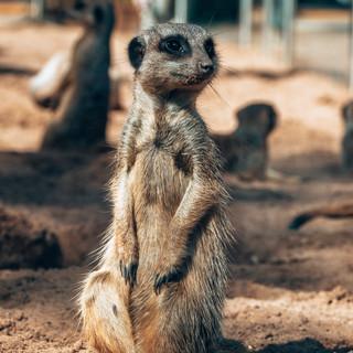 Meerkat,Taronga Zoo, 08.04.2019